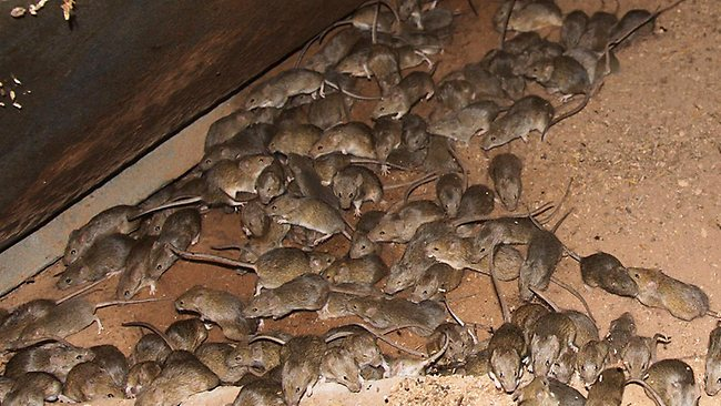 Spring Valley Pest Control: Mouse Plague
