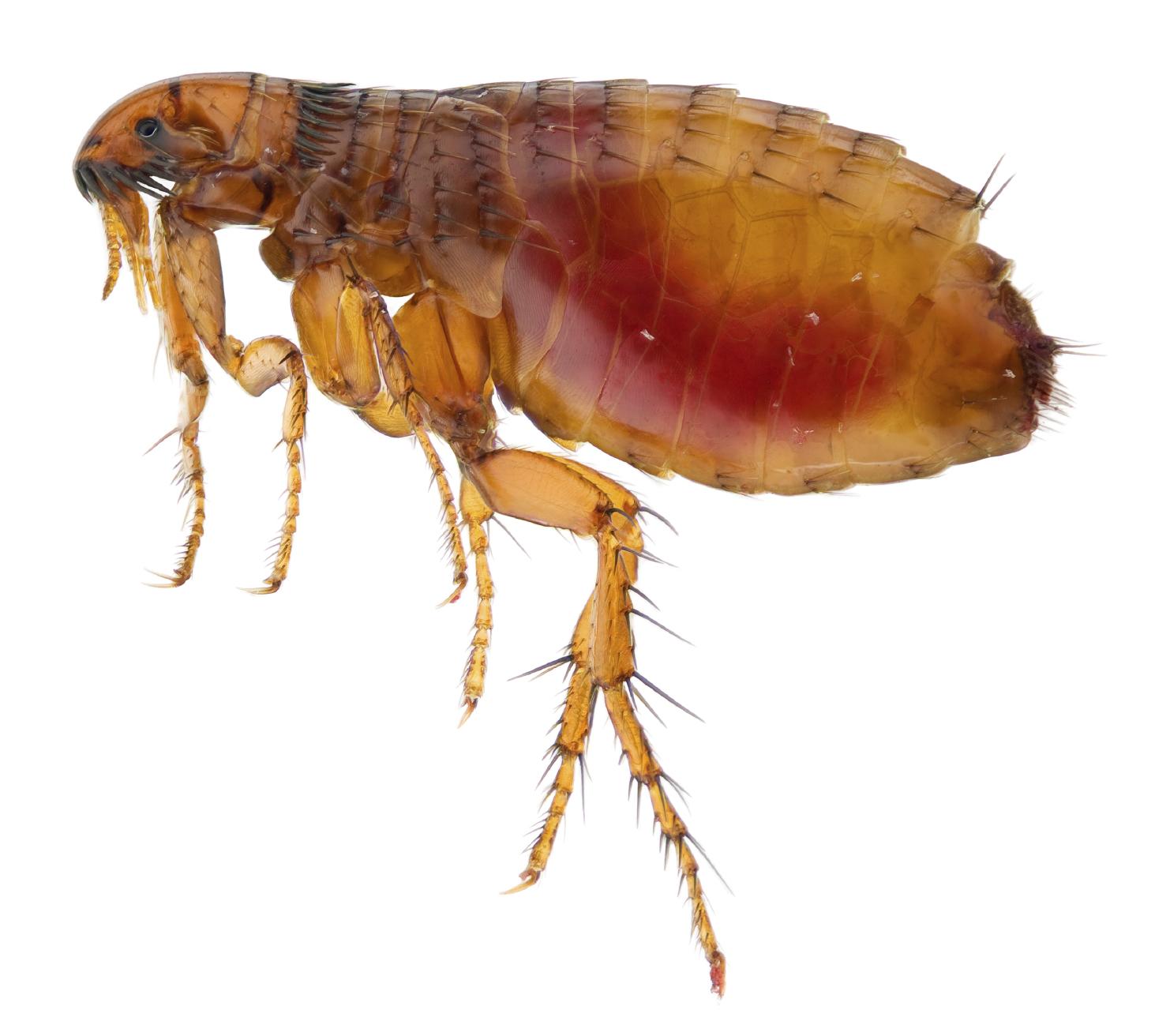 Spring Valley Pest Control Flea