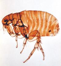 Spring Valley Pest Control Cat Flea