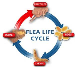Spring Valley Pest Control Flea Life Cycle