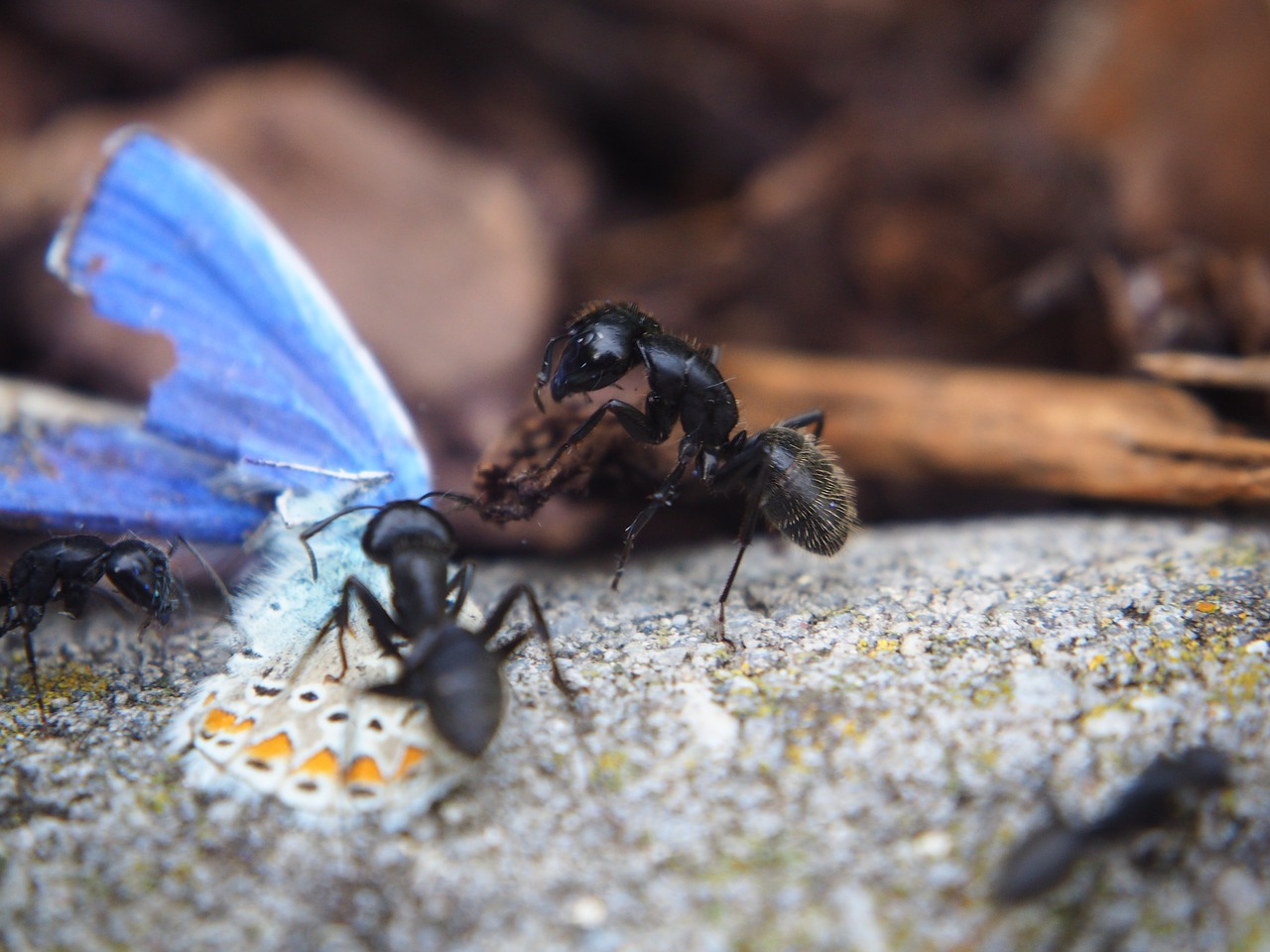 Spring Valley Pest Control Ants Eating Butterfly