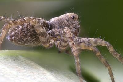 Spring Valley Wolf Spider 400