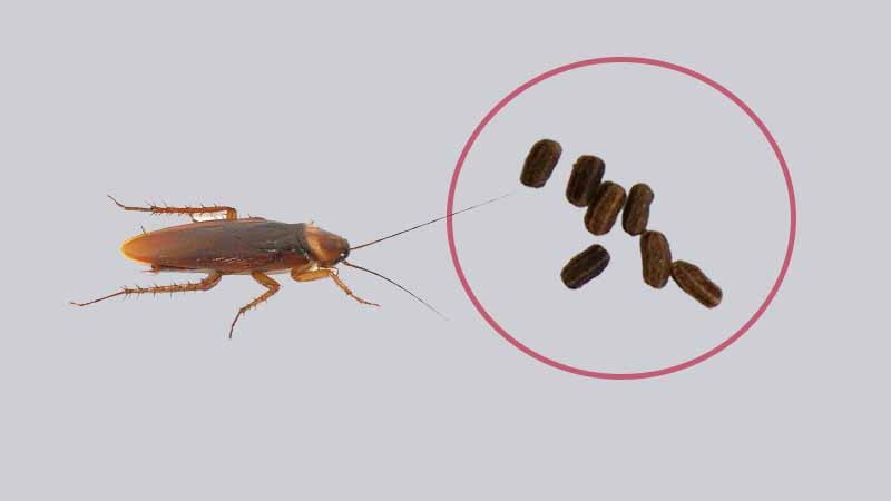Cockroach Poo