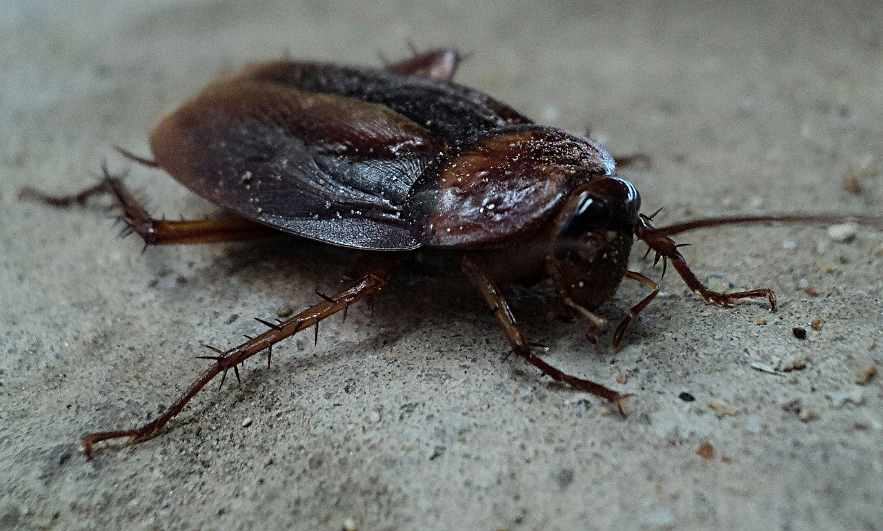 Cockroach Spring Valley Pest Control