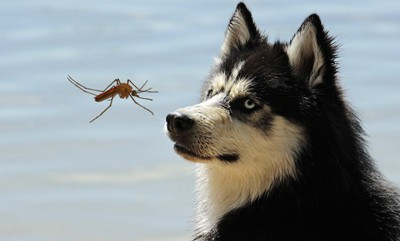 Dog with Mosquito 400