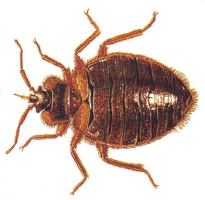 Spring Valley Bed Bug 400