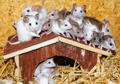 House Mice in Spring Valley Can Carry LCM