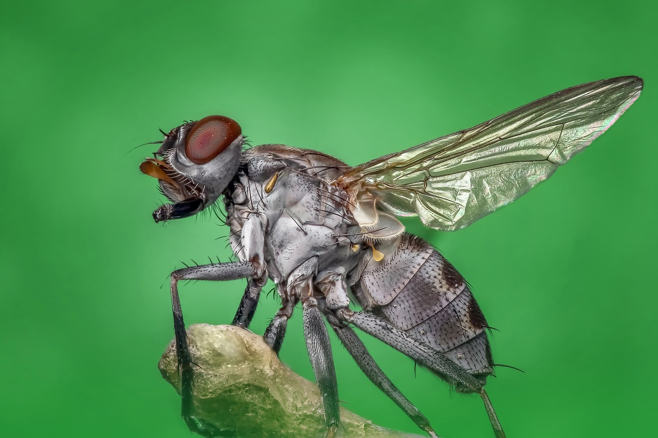 Spring Valley House Fly