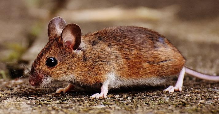 Spring Valley Mouse Can Spread Hantavirus