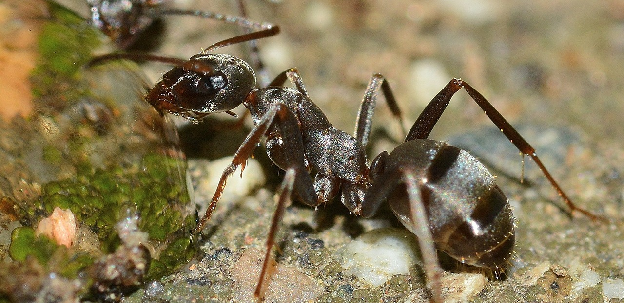 Spring Valley Pest Control Ants