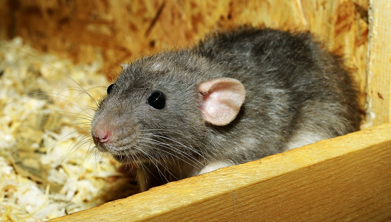 Spring Valley Rat Can Spread LCM