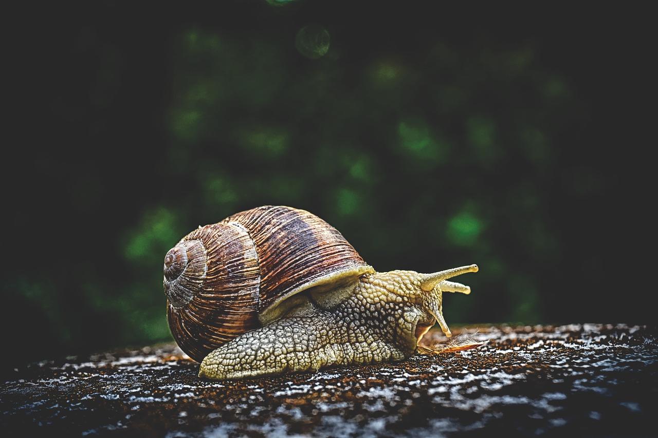 Spring Valley Snail