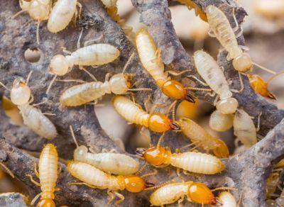 Termites Look Like White Ants