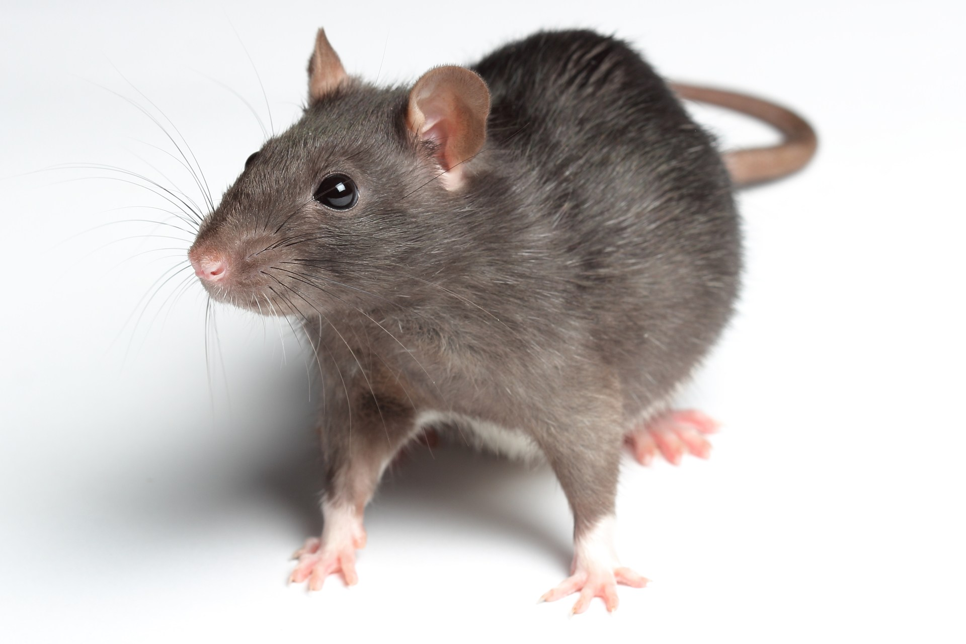 Rats and mice carry disease